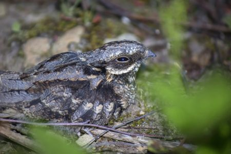 New Nightjar video