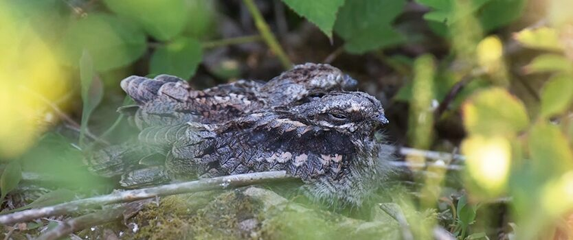 Nightjars in the Forest of Dean