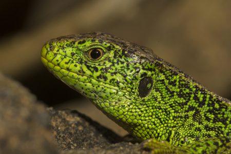 British Reptiles