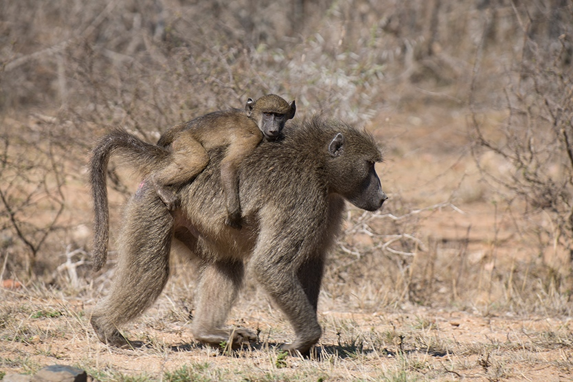 Baboons, Flycatchers and Nightjars
