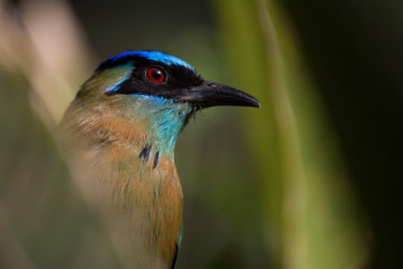 Motmots, Chats and Shrikes