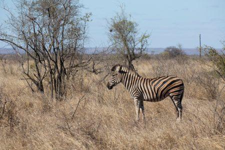 Zebras, Storks and Langurs