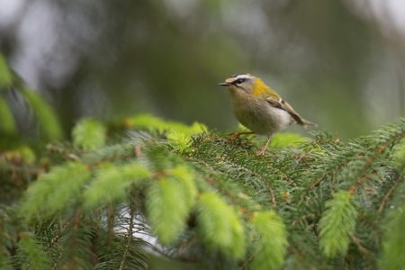 Adders, Firecrests and Pigeons