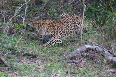 Leopards and Puffbacks