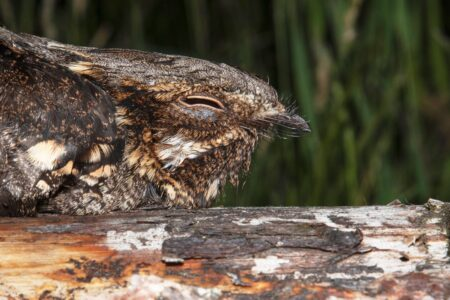 2020 Nightjar season summary – part 2